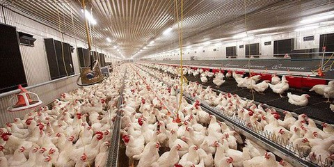 دراسة جدوى اقتصاديه لمشروع منشأة مدجنة (دجاج لحم)